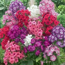 Phlox Cecily, BULK 100 seeds, Beautiful Colours SPECIAL