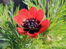50 Adonis Aestivalis Flowers Seeds Beautiful Medicinal Perennial Plants Garden