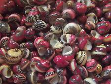 Sea shells- Nerita waigiensis 30 pcs. 11-15 m.m
