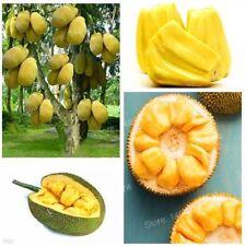 50pcs Fresh Jackfruit Seeds Fruit Trees Tropical Rare Giant Tree Garden Plant