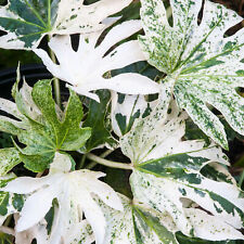 More details for fatsia japoinca spiders web japanese aralia evergreen flowering outdoor shrub