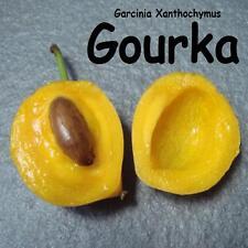 ~GOURKA~ Garcinia Xanthochymus FRUIT TREE LIVE Pot'd Starter Plant