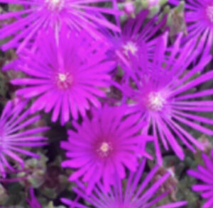 Delosperma cooperi (Cooper's ice plant) rare succulent flowering plant