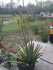 Giant Organic Aloe Vera Medicinal Succulent Plant 2'-4' Yellow Bloom