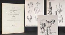 CRAMER Über Missbildungen an Händen u. Füßen Polydaktylie 1910 Medizin