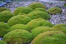 8 graines de COUSSIN VERT(Scleranthus Uniflorus) H251 KNAWEL CUSHION SEEDS SEMI