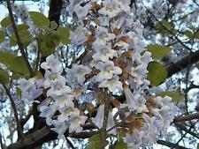 empress tree, ROYAL EMPRESS POULOWNIA, 350 Seeds! groco*,