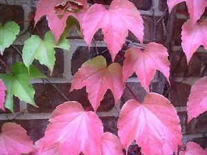 Parthenocissus Tricuspidata  Boston Ivy Vine  Seeds