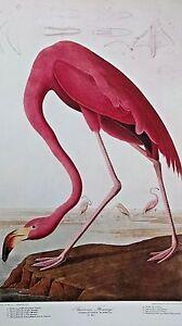Pink American Flamingo PHCENICOPTERUS RUBER, Linn. Old Male