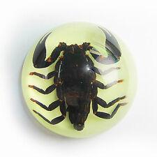 """Genuine Preserved Black Scorpion Specimen Paperweight Glow In Dark 2.5"""" Dome"""