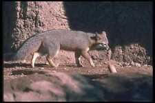 109033 Gray Fox A4 Foto Impresión