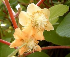 SEEDS 25 graines de KIWI (Actinidia Chinensis) KIWIFRUIT CHINESE GOOSEBERRY