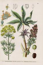 Zypressen-Wolfsmilch Wunderbaum (Ricinus communis) LITHOGRAPHIE von 1909 Botanik