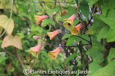 Bomarea hirtella ( syn edulis )- rare - 1 plant