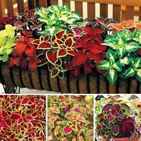 30-50pcs Mix Colors Blumei Seeds Home Colorful Flower Leaves Plant Decor Garden