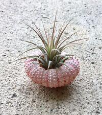 1 ionantha guatemala air plant in pink sea urchin shells - Tillandsia