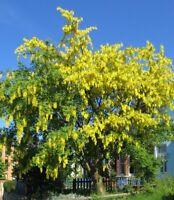 i! GOLD-REGEN !i winterharte frostharte Garten-Kletterpflanze Zier-Strauch Baum