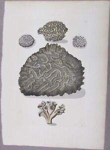 GEORG KNORR 1760'S NATURAL HISTORY HAND COLORED ENGRAVING  CORAL TYPES