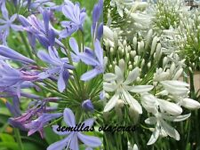 Agapanthus 15 blue + 15  white, agapanto azul + blanco, semillas, seeds, graines