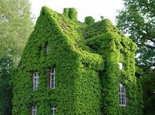200 seeds of climbing Boston Ivy grass flowers Parthenocissus Foliage wall ace
