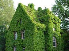 200 SEMI DI ARRAMPICATA Boston Ivy ERBA FIORI Parthenocissus fogliame muro ACE