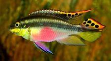 10 (ten) x Pelvicachromis pulcher (West African Cichlid)