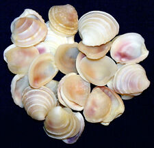 "Wedding Cake Sea Shells (1/2""-1"" Venus Clam) White/Off White (100 Shells)"