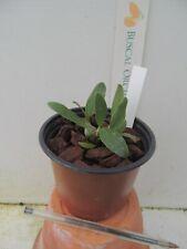 orchid / orchidee Dendrobium speciosum x falcorostrum