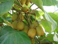 Actinidia kolomikta *Kiwi winterhart * leckere Früchte * 6 Samen * frostfest