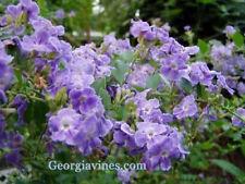 Duranta erecta Periwinkle Blue shrub Pint Plant Free Ship