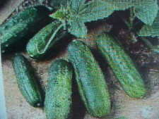 Indoor Outdoor Miniature Veggie Cucumber Seeds no room?
