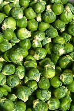 More details for brussel sprouts plant plugs ready for planting now