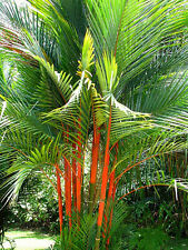 Tropical Sealing Wax Palm 5 Seeds