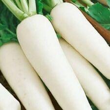 15+ Parsnip All American Seeds   NON-GMO   Fresh Vegetable Garden US SELLER