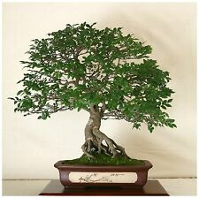 50 seeds of Zelkova serrata, Japanese elm, bonsai seeds  C