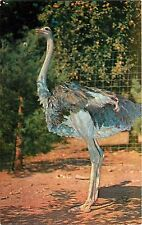 SOUTH AFRICAN OSTRICH CATSKILL GAME FARM NEW YORK POSTCARD