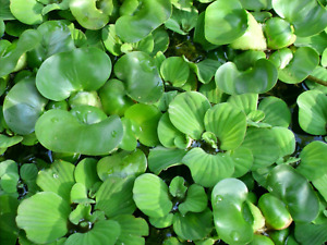 1 Water Lettuce Plant and 1 Hyacinth &  Free Sample of Parrot Feather Plants