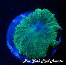 New listing New York Reef Aquatic - 0523 A7 Indo Green Rhodac Wysiwyg Live Coral