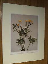 Vintage 1921 Botanical Wildflower Matted Art Print - Swamp or Marsh Buttercup