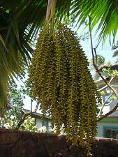 ~LAU FAN PALM SEED~ 1000+Seeds Pritchardia thurstonii ~Dwarf FIJI FAN Palm~ Rare