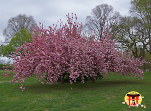Official Live Japanese Kwanzan Cherry Blossom 2 to 3 Foot Tree Seedling