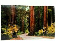 Avenue Of Giants Parkway California Redwoods Postcard