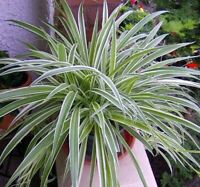 "Spider Reverse Variegated Live Plant Easy to Grow/Cleans The Air 4"" Pot Indoor"