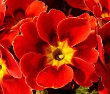 PRIMROSE ENGLISH ACCORD SCARLET PERENNIAL Primula Vulgaris - 50 Bulk Seeds