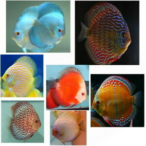 5 Assorted Discus  3 inches UK Bred Best Quality No Cheap imports