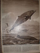 Two Toothed Beak Whale 1956 old print Neave Parker