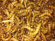 200 Large Superworms! Live Arrival Guarantee!