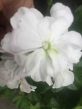 Pure White Pelargonium Geranium  -  Large Healthy Plants Established Plants