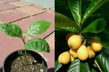 "Japanese Plum Plant Loquat Fruit Live Tree Starter Seedling 4""Pot Garden Outdoor"