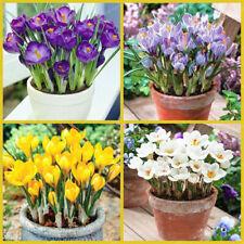 50 Seeds Crocus sativus Saffron Flowers Bonsai Plant Rare  Beautiful Potted Home